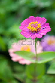 extreme close up shot of pink zinnia flower stock photo picture