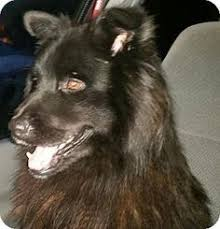 adopt a belgian sheepdog cape coral fl belgian malinois meet rambo a dog for adoption