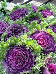 black gold flowering kale beautiful edible color black gold