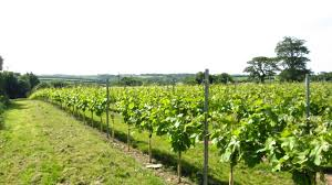 the bacchus gricer eastcott vineyard guest wines blog