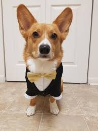 queen s dogs the queens corgis u2014 the most adorable ring bearer best man at