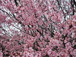 flowering tree plum purple smell trees free nature pictures by