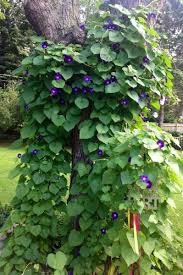 morning glories climbing up a tree very pretty will do this in