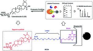 the proteomic profiling of calenduloside e targets in huvec