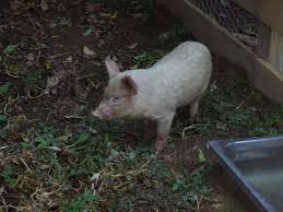 my backyard blog backyard pig