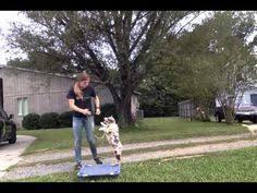 australian shepherd training tips australian shepherd training tips miscellaneous pinterest