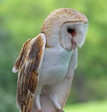 Barn Owl Sounds Gothos Art Photography Birds