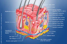 A Picture Of The Human Anatomy Touch U2014 Science Learning Hub