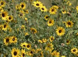 sunflower turner seed