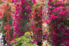 bougainvilleas casaplanta garden center miami fl