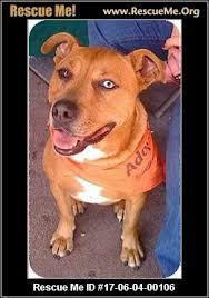 australian shepherd orange county california australian shepherd rescue u2015 adoptions u2015 rescueme org