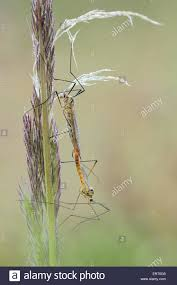 craneflies stock photo royalty free image 83505861 alamy