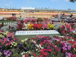 carlsbad flower garden frugal day trip carslbad flower fields nurse frugal