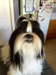 list of shih haircut 70 most popular shih tzu names