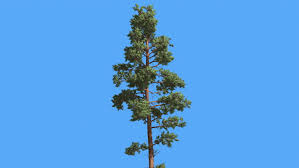 scots pine thin tree pinus sylvestris tree in summer tree