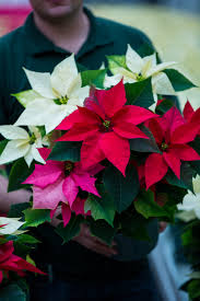life in the dead of winter u2013 6 great christmas plants for the