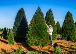 live christmas tree christmas trees melbourne