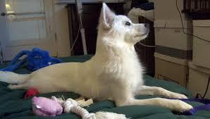 american eskimo dog yahoo american eskimo dog heidi