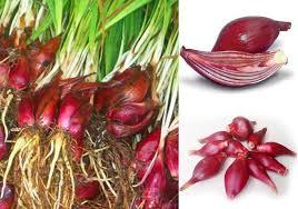 8 manfaat bawang dayak untuk meningkatkan vitalitas stamina pria