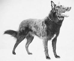 belgian sheepdog and cats belgian sheepdog breed of dog britannica com