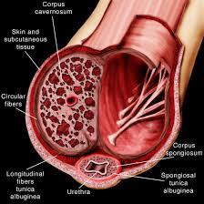 Male Internal Organs Anatomy Peyronie U0027s Anatomy Of The And Related Areas Peyronie U0027s