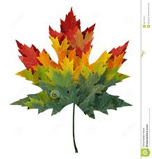 maple tree symbolism seasonal maple leaf stock illustration illustration of horizontal
