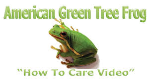 green tree frog how to care