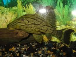Buy Ornamental Fish Tropical Fish Aquarium Fish Ornamental Fish Buy Fish Fresh Water