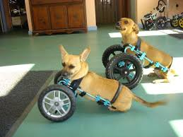 Wheels For Chair Legs Eddie U0027s Wheels For Pets The Pet Mobility Experts