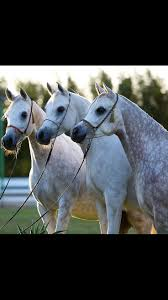 Exklusive B Om El 74 Best A Love For Gray Horses Images On Pinterest Beautiful