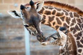 video april the giraffe u0027s baby is cute but not as cute as the