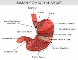 A Picture Of The Human Anatomy Understanding The Human Stomach Anatomy With Labeled Diagrams