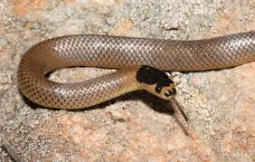 nsw u0026 act archives what snake is that