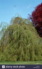 ornamental weeping salix willow tree stock photos ornamental