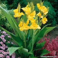 canna lilies canna richard wallace american