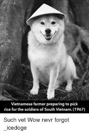 vietnamese farmer preparing to pick rice for the soldiers of south
