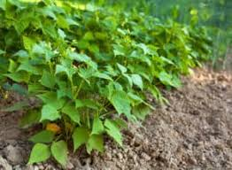 Bean Leaves Bed Bugs Bean Growing Problems And Solutions