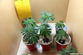 Life Cycle Of A Flowering Plant - the seven key stages of the marijuana plant life cycle