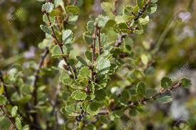 tundra native plants dwarf birch betula nana this species is found mainly in the