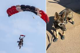 afghan hound kennel in australia afghan hound tea with luscious long locks named u0027prettiest dog in