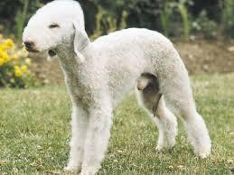 bedlington terrier stud bedlington terrier dog puppy dog gallery