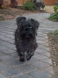 affenpinscher loyalty animal spirit guides