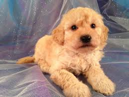 bichon frise dog breeders bichon poodle breeders in iowa with bichon poo puppies for sale
