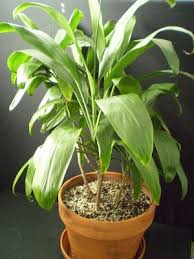 plants are the strangest people list houseplants with large