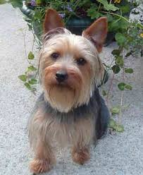 silky terrier with haircut silky terrier clipground