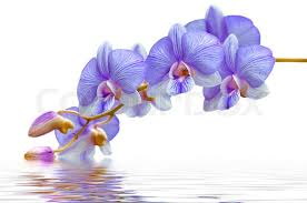 purple orchids flowers purple orchids in water stock photo colourbox