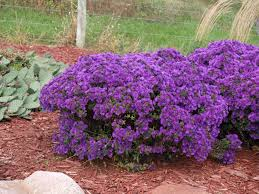 Flowering Shrubs New England - purple dome u0027 new england asters knecht u0027s nurseries u0026 landscaping