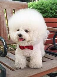 bichon frise instagram south korean bichon frise shares the secret behind her perfectly