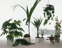 various potted plants including japanese fatsia coconut palm