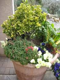 All Year Flowering Shrubs - evergreen shrubs for year long color lavender elegance s a